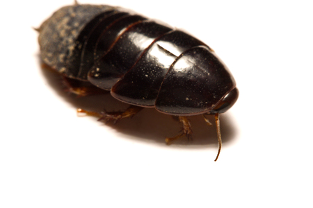 scavenging: Australian giant burrowing cockroach on white background