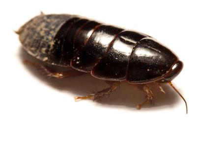 Australian giant burrowing cockroach on white background