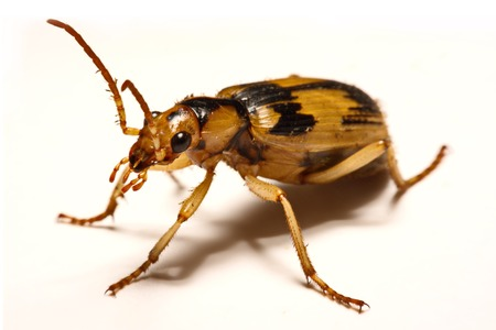 Bombardier beetles on a smooth background Standard-Bild
