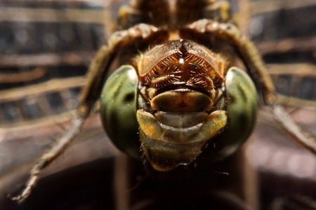 dragonfly in nature. macro An animal  in the nature