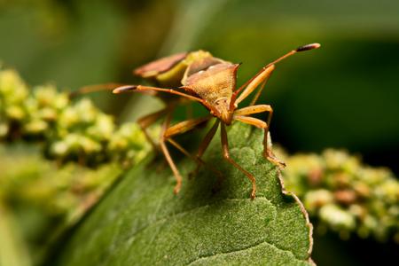 Nature image showing details of insect life: closeup  macro of a hemiptera Nezara Viridula Heteroptera pentatomidae palomera prasina on a leaf. Stock Photo