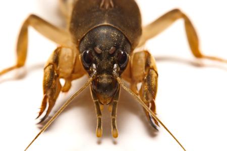 Mole cricket (Gryllotalpidae) isolated on white background Stock Photo