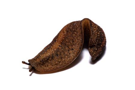 Limace ou limace est un nom commun pour les coquillages de fond blanc. Banque d'images - 84471132