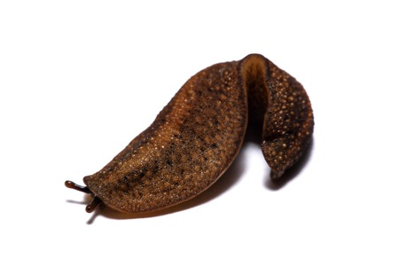 Slug or slug is a common name for shellfish from white background.