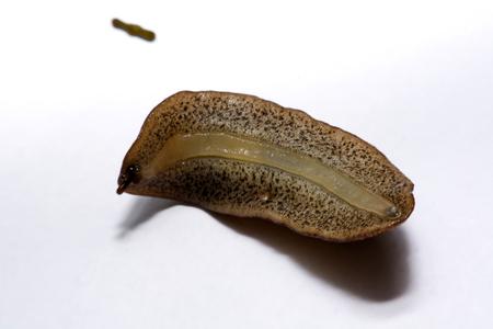 Slug o slug es un nombre común para los mariscos de fondo blanco.