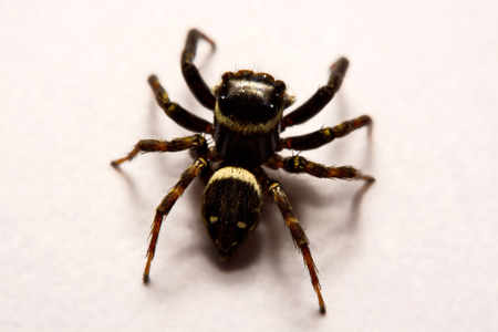 living organism: Jumping Spider , Jumping Spider over White background , Jumping spider isolated over white