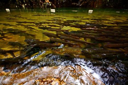 Mahseer Barb fish at Pliew Waterfall national park in Chanthaburi Thailand