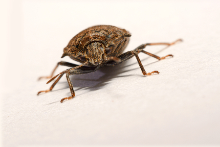 Macro shooting at close range and spot of brown Marmalade Stink Bug on white paper background Stock Photo