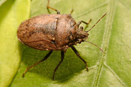 Macro shooting at close range and spot of Shield Bug Or Stink Bug brown on plant . Stock Photo