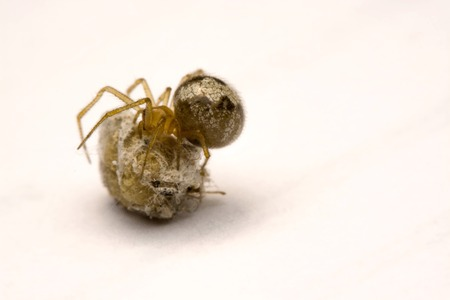 A small spider is watching its eggs on a white background