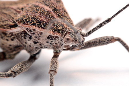 Close-up photos Brown Dock Bug isolated on a white background.