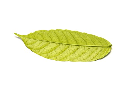 Photo of a green leaf on a white backgroun
