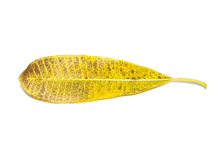 Yellow leaves photo on a white background
