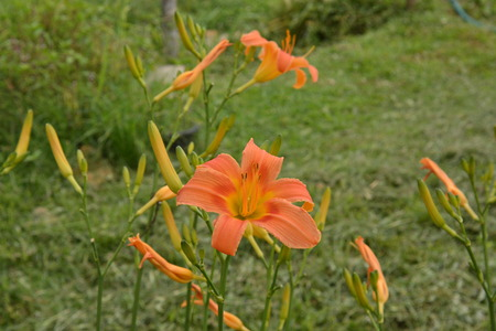 Orange day lilies (Hemerocallis) beside an old country road. Day lilies are rugged, adaptable, vigorous perennials and comes in a variety of colors