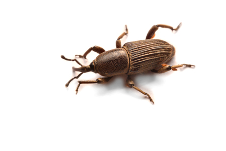 Acorn weevil, Curculio glandium, isolated on whiteA little black weevil waiting alone for a photo. Stock Photo