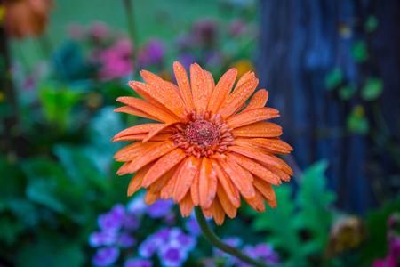 Flor anaranjada de la momia en jardín. Foto de archivo - 85255967