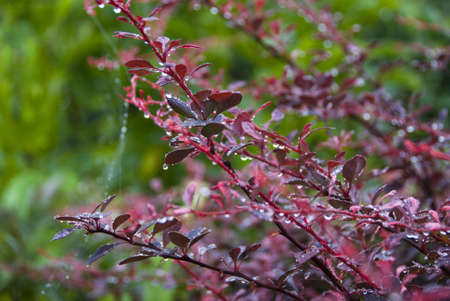 barberry: THE BARBERRY With THE DEW