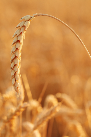 Summer time for harvest. Golden ears of wheat are ready for Harvest. Harvest Concept. Background of wheat field.