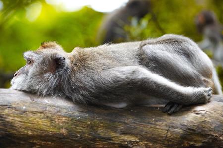 UBUD, INDONESIA - One of the Balinese lazy monkey in the monkey forest.