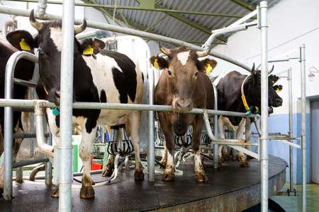 milchkuh: Milch Kuh Lizenzfreie Bilder
