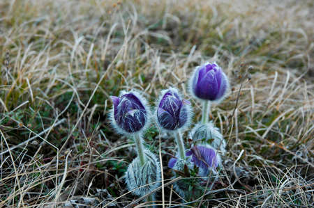pasqueflower: pasqueflower Stock Photo