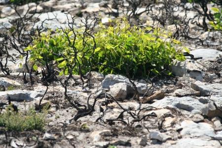 bushfire: Flower back to life after bushfire