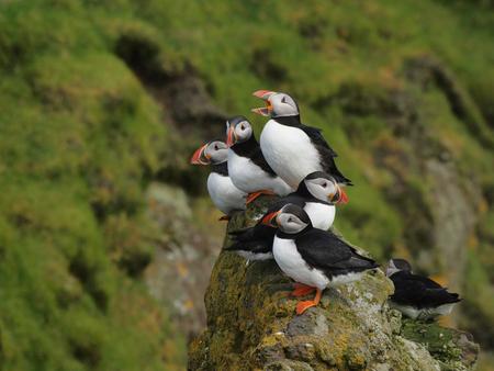 Puffins on a cliff Zdjęcie Seryjne - 78461108