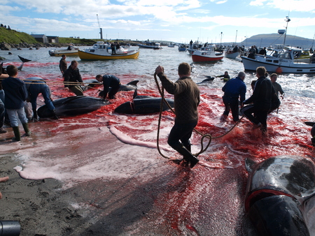 THORSHAVN, FAROE ISLANDS - JULY 23, 2010: 108 Long-finned pilot whales are beached and killed. On Faroe Islands people have been eating the meat and blubber from pilot whales for centuries Zdjęcie Seryjne - 78511018