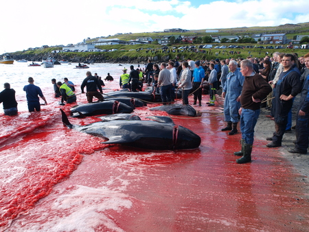 THORSHAVN, FAROE ISLANDS - JULY 23, 2010: 108 Long-finned pilot whales are beached and killed. On Faroe Islands people have been eating the meat and blubber from pilot whales for centuries Zdjęcie Seryjne - 78636039