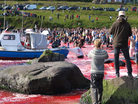 THORSHAVN, FAROE ISLANDS - JULY 23, 2010: 108 Long-finned pilot whales are beached and killed. On Faroe Islands people have been eating the meat and blubber from pilot whales for centuries Zdjęcie Seryjne - 78511019
