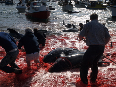THORSHAVN, FAROE ISLANDS - JULY 23, 2010: 108 Long-finned pilot whales are beached and killed. On Faroe Islands people have been eating the meat and blubber from pilot whales for centuries Zdjęcie Seryjne - 78511209