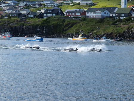 THORSHAVN, FAROE ISLANDS - JULY 23, 2010: 108 Long-finned pilot whales are beached and killed. On Faroe Islands people have been eating the meat and blubber from pilot whales for centuries Zdjęcie Seryjne - 78642897