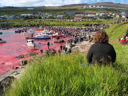 THORSHAVN, FAROE ISLANDS - JULY 23, 2010: 108 Long-finned pilot whales are beached and killed. On Faroe Islands people have been eating the meat and blubber from pilot whales for centuries Zdjęcie Seryjne - 78636763