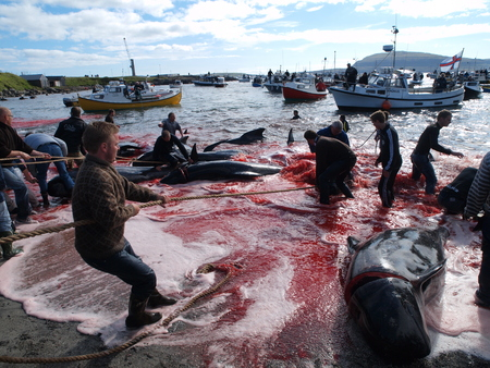 THORSHAVN, FAROE ISLANDS - JULY 23, 2010: 108 Long-finned pilot whales are beached and killed. On Faroe Islands people have been eating the meat and blubber from pilot whales for centuries Zdjęcie Seryjne - 78867889