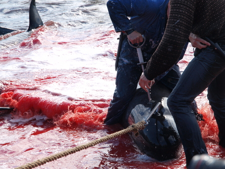 THORSHAVN, FAROE ISLANDS - JULY 23, 2010: 108 Long-finned pilot whales are beached and killed. On Faroe Islands people have been eating the meat and blubber from pilot whales for centuries Zdjęcie Seryjne - 79117674