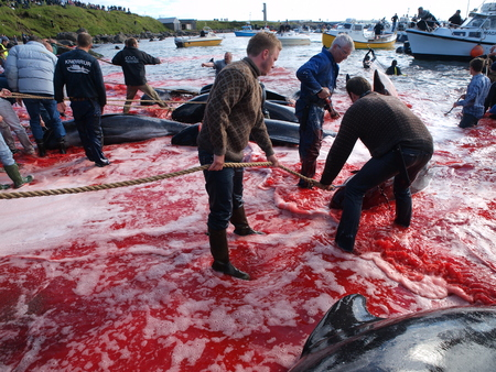 THORSHAVN, FAROE ISLANDS - JULY 23, 2010: 108 Long-finned pilot whales are beached and killed. On Faroe Islands people have been eating the meat and blubber from pilot whales for centuries