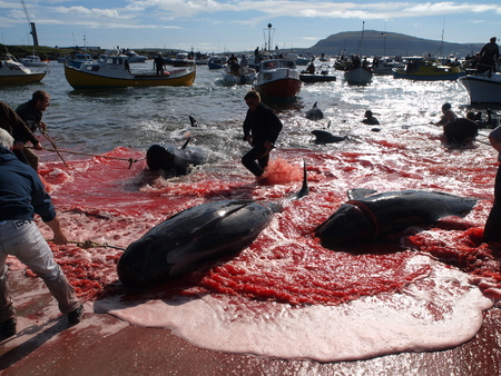 THORSHAVN, FAROE ISLANDS - JULY 23, 2010: 108 Long-finned pilot whales are beached and killed. On Faroe Islands people have been eating the meat and blubber from pilot whales for centuries Zdjęcie Seryjne - 79117675