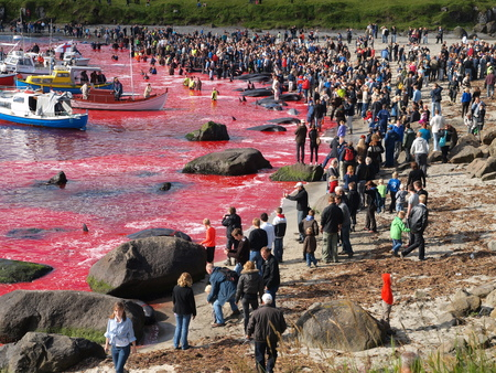THORSHAVN, FAROE ISLANDS - JULY 23, 2010: 108 Long-finned pilot whales are beached and killed. On Faroe Islands people have been eating the meat and blubber from pilot whales for centuries Zdjęcie Seryjne - 78867891