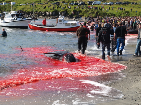THORSHAVN, FAROE ISLANDS - JULY 23, 2010: 108 Long-finned pilot whales are beached and killed. On Faroe Islands people have been eating the meat and blubber from pilot whales for centuries Zdjęcie Seryjne - 78636042