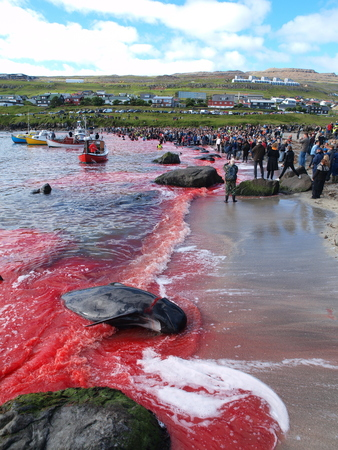 THORSHAVN, FAROE ISLANDS - JULY 23, 2010: 108 Long-finned pilot whales are beached and killed. On Faroe Islands people have been eating the meat and blubber from pilot whales for centuries Zdjęcie Seryjne - 78867892