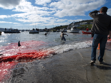 THORSHAVN, FAROE ISLANDS - JULY 23, 2010: 108 Long-finned pilot whales are beached and killed. On Faroe Islands people have been eating the meat and blubber from pilot whales for centuries Zdjęcie Seryjne - 78867893