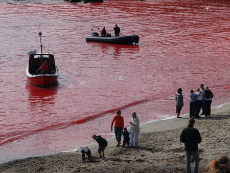 THORSHAVN, FAROE ISLANDS - JULY 23, 2010: 108 Long-finned pilot whales are beached and killed. On Faroe Islands people have been eating the meat and blubber from pilot whales for centuries Zdjęcie Seryjne - 78636043