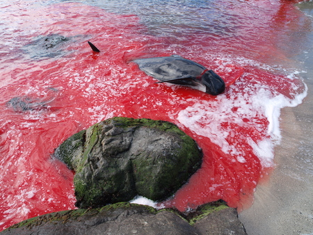 THORSHAVN, FAROE ISLANDS - JULY 23, 2010: 108 Long-finned pilot whales are beached and killed. On Faroe Islands people have been eating the meat and blubber from pilot whales for centuries Zdjęcie Seryjne - 79117677