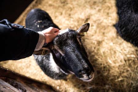 scratching: Scratching a sheep
