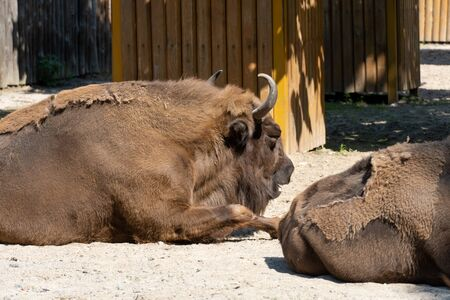 large males of american bison in the zoo