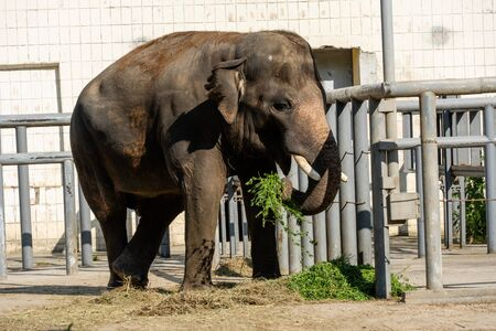 Elephant eats grass in the zoo. Wild predator.