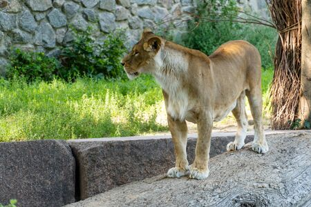 A lioness lies on a stone on a sunny day. Wild predator.