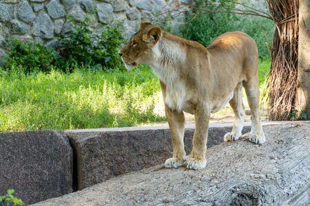 Una leona yace sobre una piedra en un día soleado. Depredador salvaje. Foto de archivo