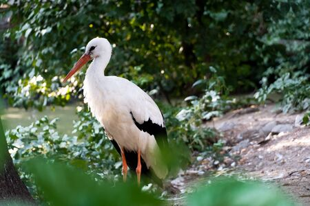 Beautiful white stork walks in the park. Фото со стока