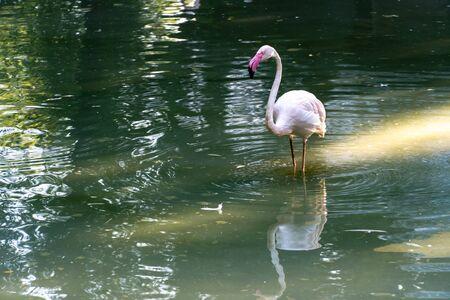 Pink flamingo walks on a salt lake